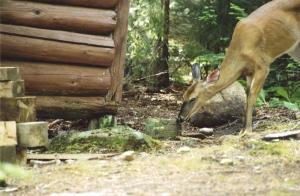 purgatory deer2