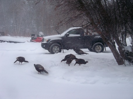 Turkeys - Appleton, Maine